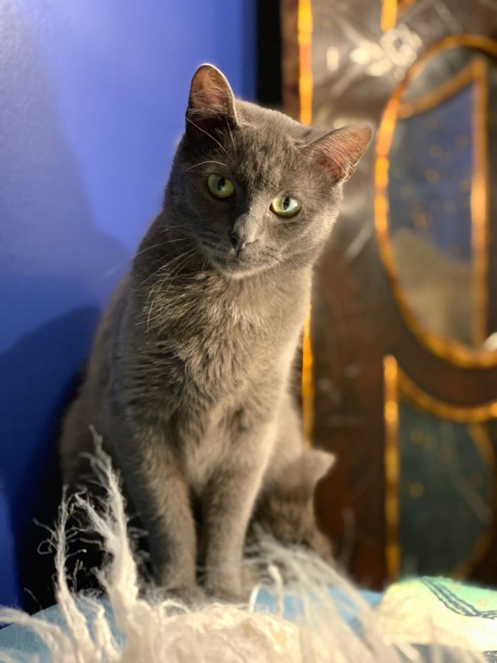 Abby, an adopted Domestic Short Hair in Chicago, IL