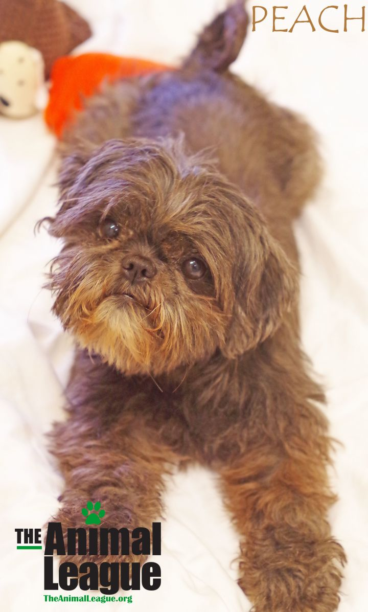 Peach, an adopted Shih Tzu in Clermont, FL