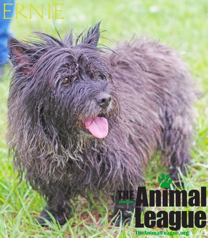 Ernie, an adoptable Cairn Terrier Mix in Clermont, FL