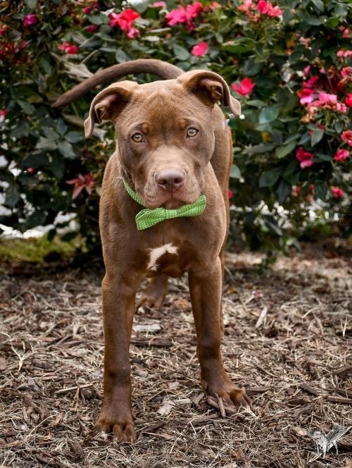 Wocket, an adoptable Pit Bull Terrier in Dallas, GA