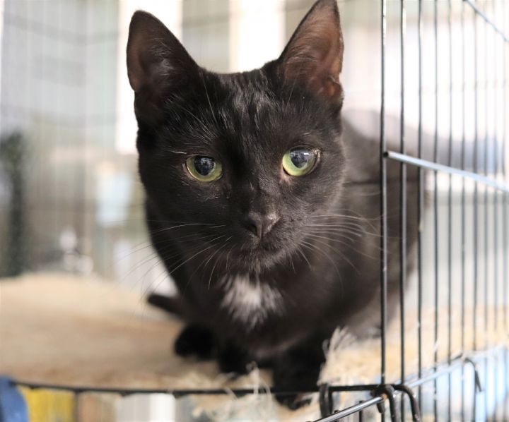 Sparrow, an adoptable Domestic Short Hair in Boiling Springs, PA