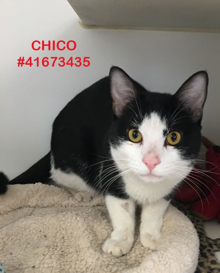 Chico, an adoptable Tuxedo in Wilkes Barre, PA