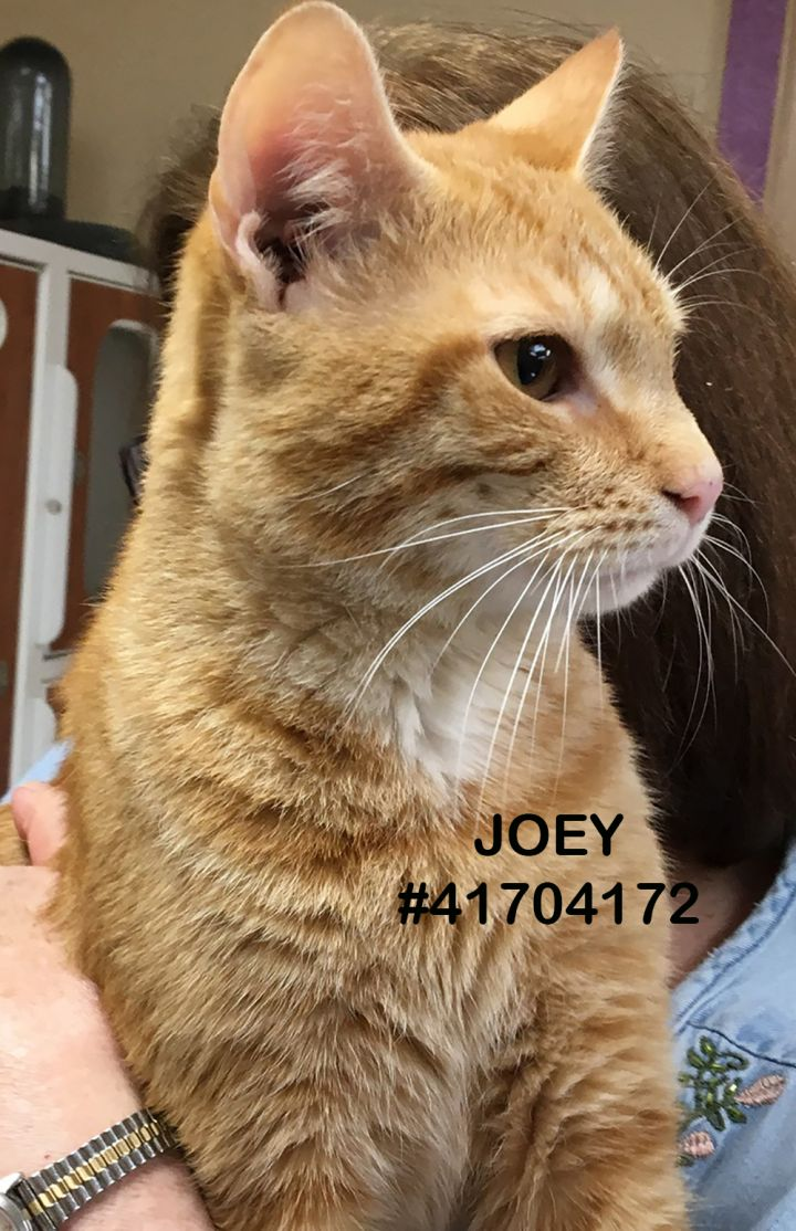 Joey, an adoptable Tabby in Wilkes Barre, PA