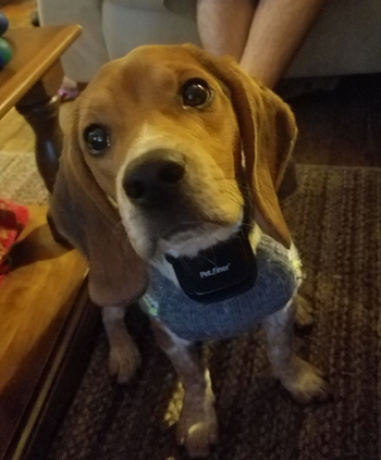 Hodor, an adoptable Beagle in West Decatur, PA