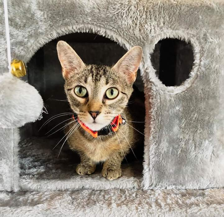 Trust, an adoptable Domestic Short Hair in Manhattan, KS