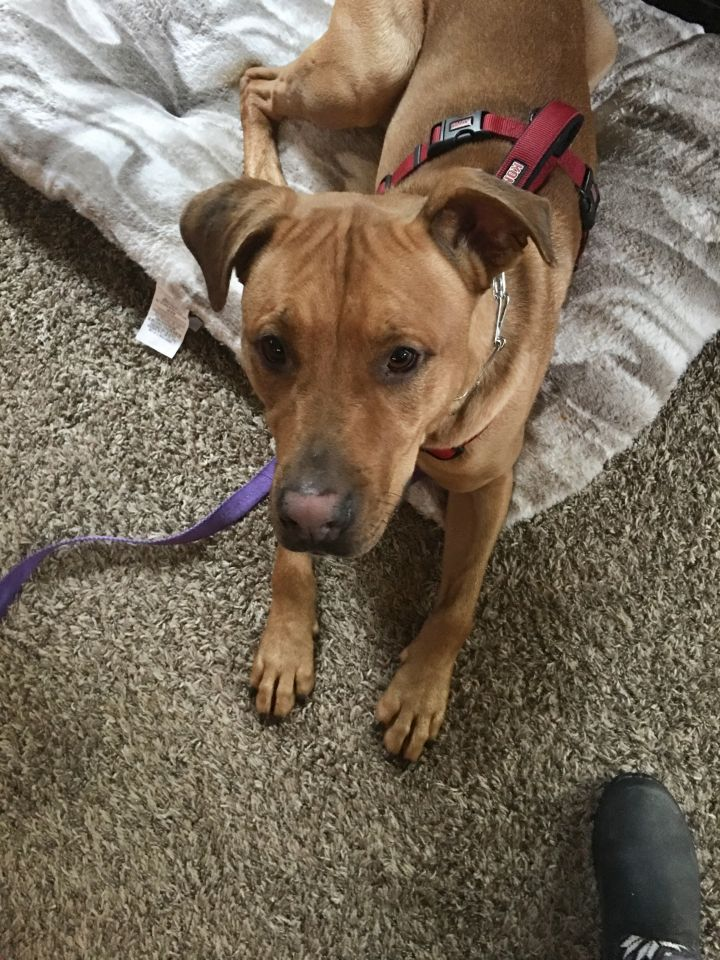 Cedar, an adoptable American Staffordshire Terrier & Rottweiler Mix in Bellingham, WA