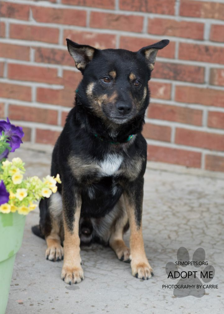 Bumblebee, an adoptable Cattle Dog Mix in Cape Girardeau, MO
