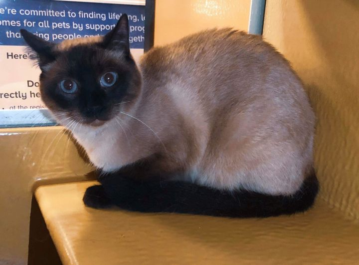 Blaze, an adoptable Siamese in Manhattan, KS