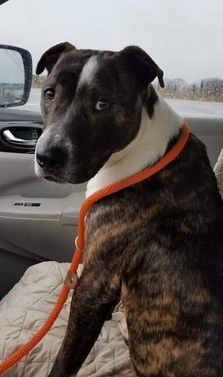 Spidey, an adoptable Pit Bull Terrier Mix in Conover, NC