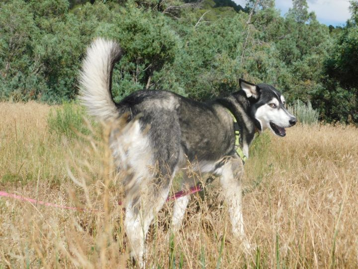 Nova, an adopted Siberian Husky in Ridgway, CO