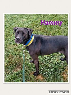Hammy, an adoptable Labrador Retriever & Pit Bull Terrier Mix in Utica, NY