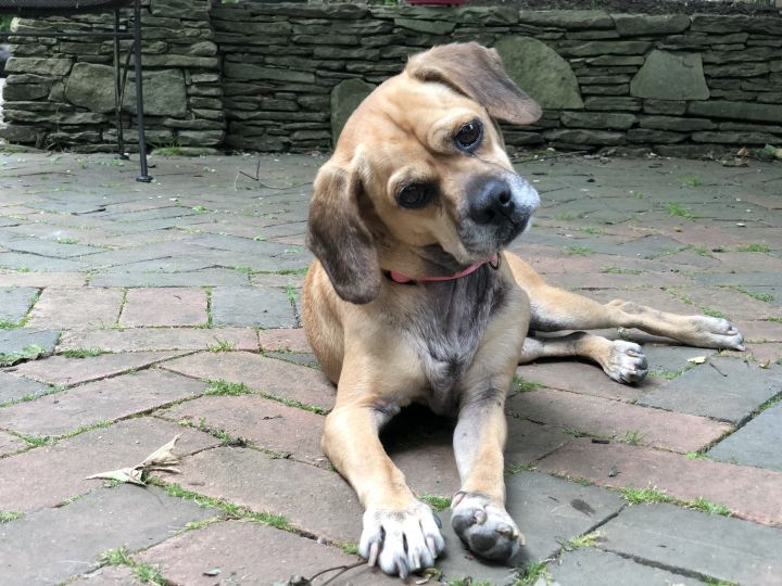 Petal, an adopted Beagle & Pug Mix in Parsippany, NJ