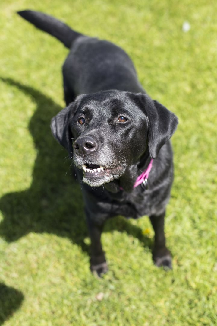 Andie, an adoptable Labrador Retriever Mix in Appleton, WI