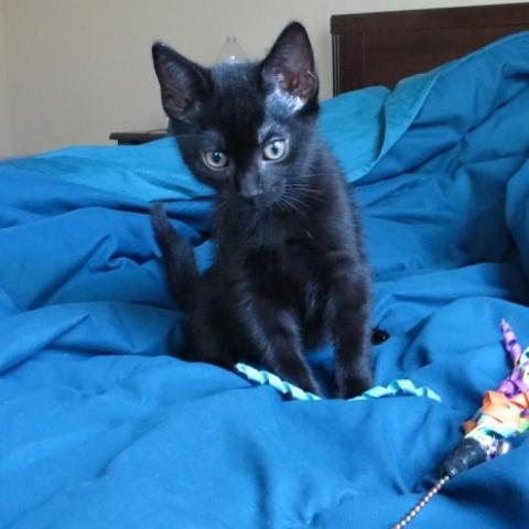 Cat For Adoption Gru A Domestic Short Hair In Austin Tx Petfinder