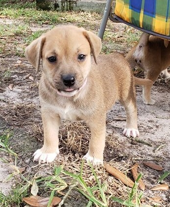 Luanne, an adopted Labrador Retriever & Beagle Mix in Winter Park, CO