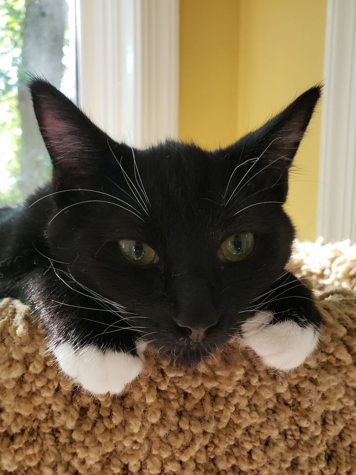 Ritz, an adoptable Domestic Short Hair in Reston, VA