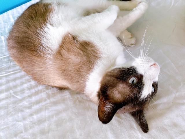 Cat for adoption - Austin, a Siamese in Corpus Christi, TX | Petfinder