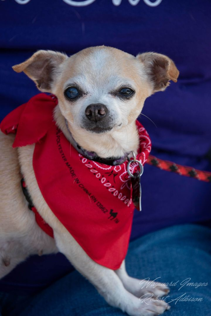 Bekki, an adoptable Chihuahua Mix in Springfield, MO