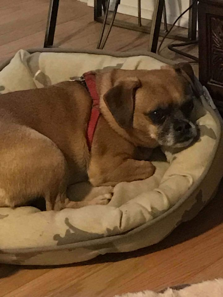 Bowman, an adopted Pug Mix in Conover, NC