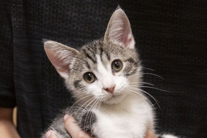 Lulu, an adoptable Tabby Mix in Waxhaw, NC