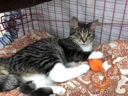 June Bug, an adoptable Tabby & Domestic Short Hair Mix in Monroe, MI