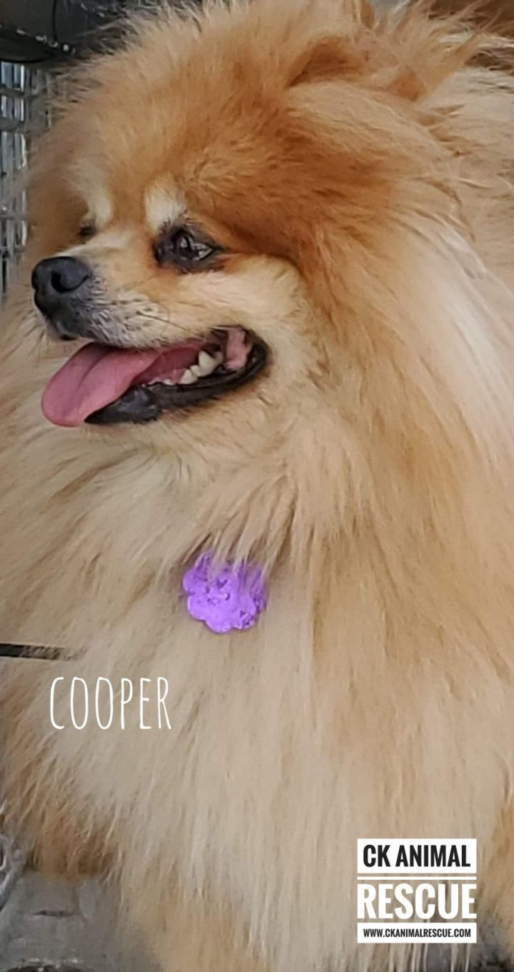 Cooper, an adoptable Pomeranian in Chatham, ON