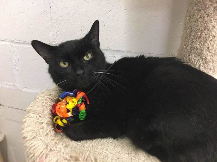 Sully, an adopted Domestic Short Hair in New Rochelle, NY