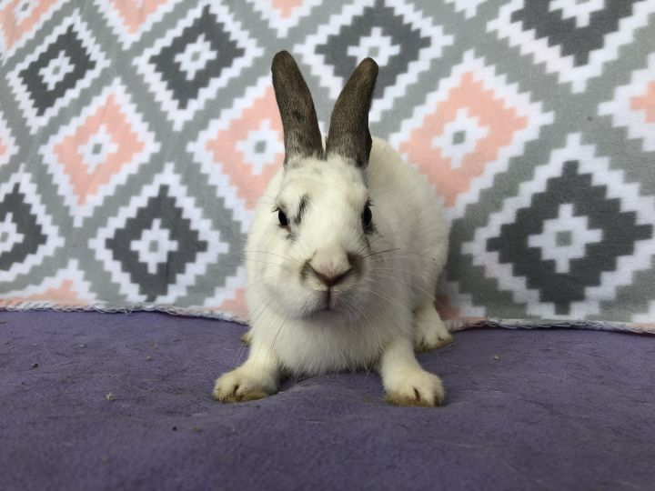 Rowdie, an adopted Mini Rex Mix in Appleton, WI