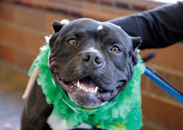 Rosie, an adoptable American Staffordshire Terrier Mix in Eagle, ID