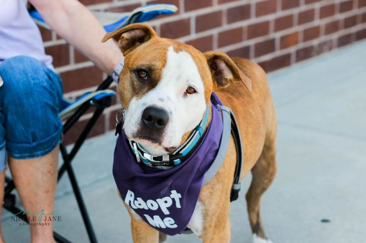Dr. Zeus, an adoptable Pit Bull Terrier Mix in Springfield, MO