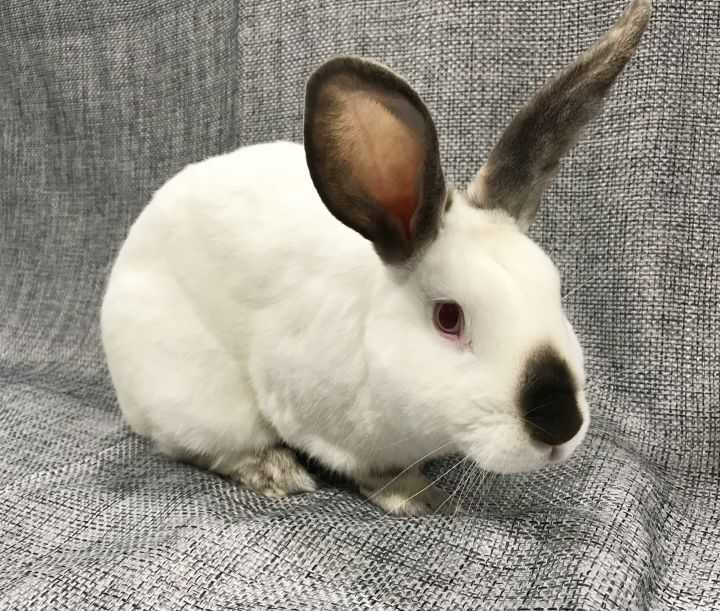 Rabbit for adoption - Tyrion, a Californian in Livermore, CA
