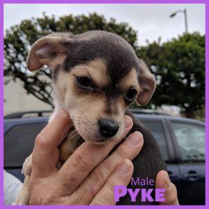 Pyke - Riot pup