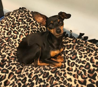 Jazzi (& Hunni), an adopted Miniature Pinscher Mix in Queenstown, MD