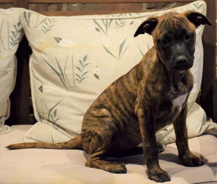 Sadie, an adopted Mixed Breed in Northwood, NH