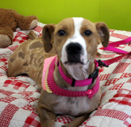 Pretty Patches, an adopted Retriever & Terrier Mix in Reston, VA