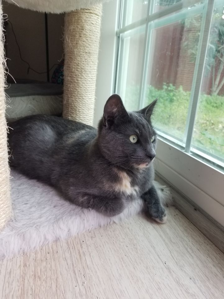 Dottie, an adoptable Domestic Short Hair in Mission Viejo, CA