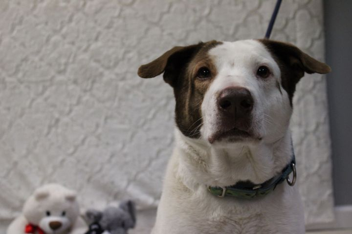 Cedric, an adoptable Hound Mix in Medford, NY
