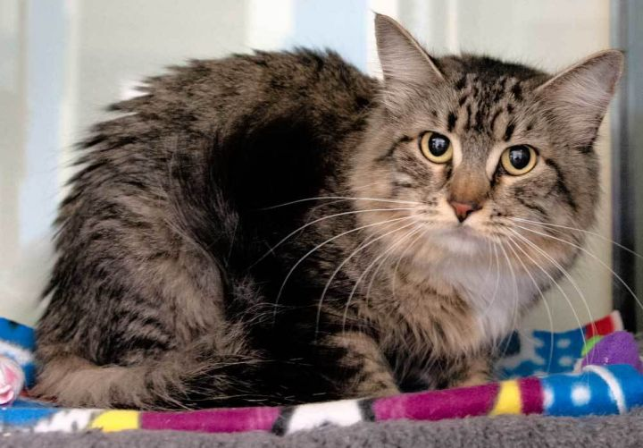 Sweetpea, an adoptable Domestic Medium Hair Mix in Port Townsend, WA