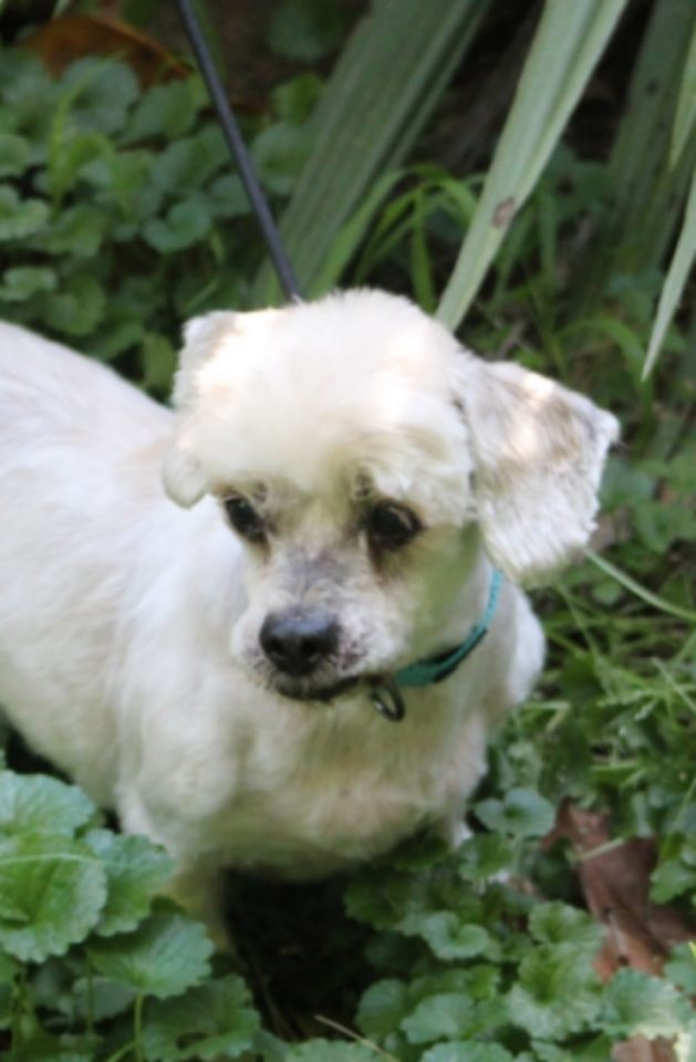 Peanut, an adopted Lhasa Apso in Pigeon Forge, TN