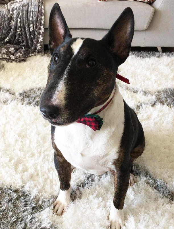 Rocko, an adopted Bull Terrier in Dallas, TX