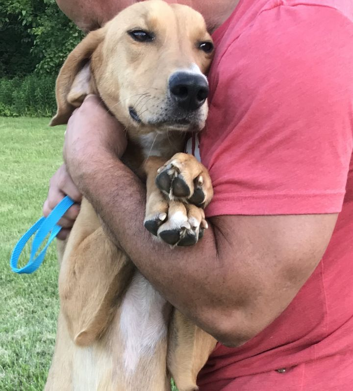 GINGER, an adopted Greyhound & Hound Mix in Wilmington, OH