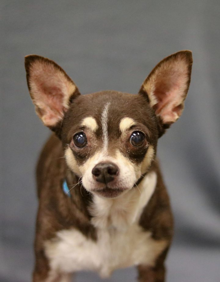 Astro, an adopted Rat Terrier Mix in League City, TX
