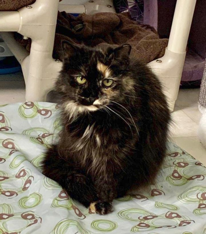 Spitfire, an adoptable Domestic Long Hair in Queenstown, MD