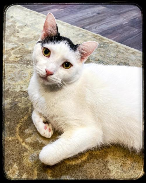 Cassius Clay (A Shy Love Bug), an adoptable Domestic Short Hair Mix in Indianapolis, IN