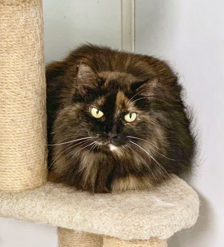 Starburst, an adoptable Domestic Long Hair in Queenstown, MD