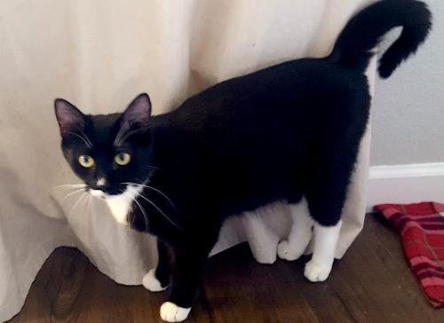 Socks, an adoptable Tuxedo & Domestic Short Hair Mix in Springfield, OR