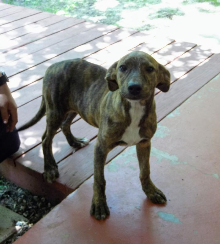 Gracie2, an adoptable Plott Hound Mix in Dallas, TX