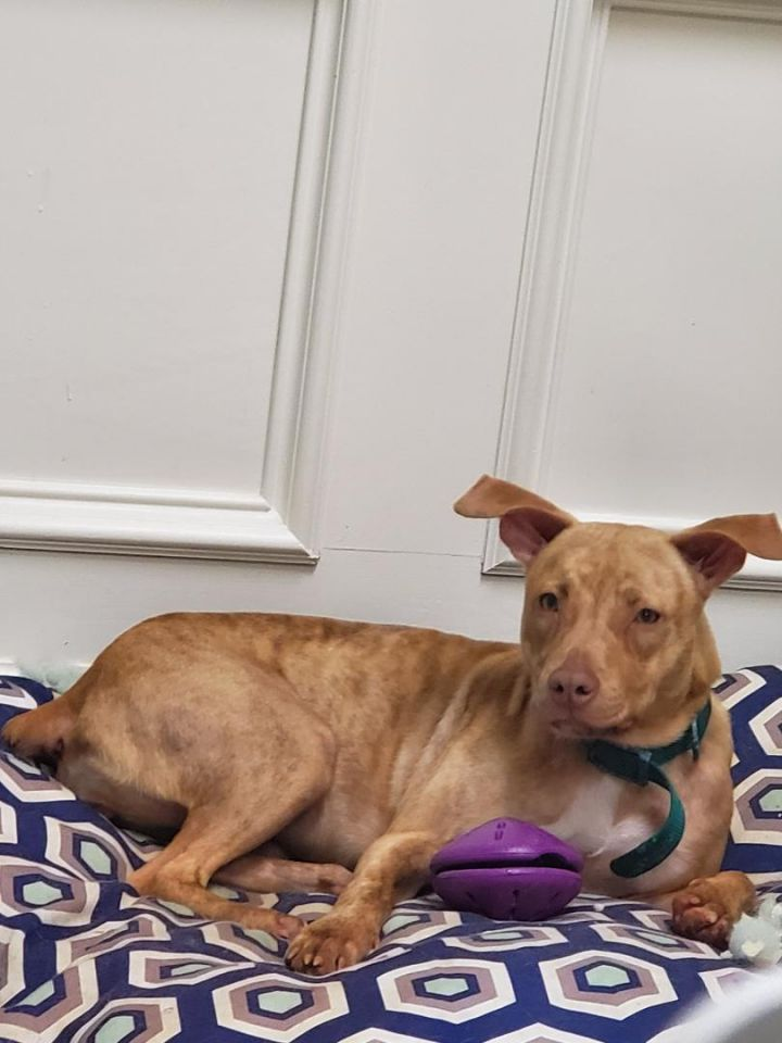 Angel, an adoptable Terrier Mix in Dallas, TX