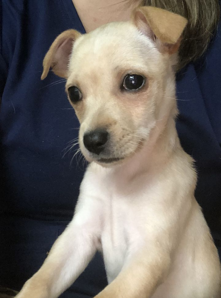 JuneBug, an adopted Chihuahua & Feist Mix in Somers, CT