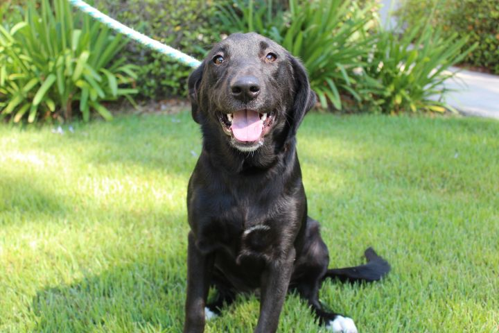 Calliope, an adopted Labrador Retriever Mix in Brunswick, GA